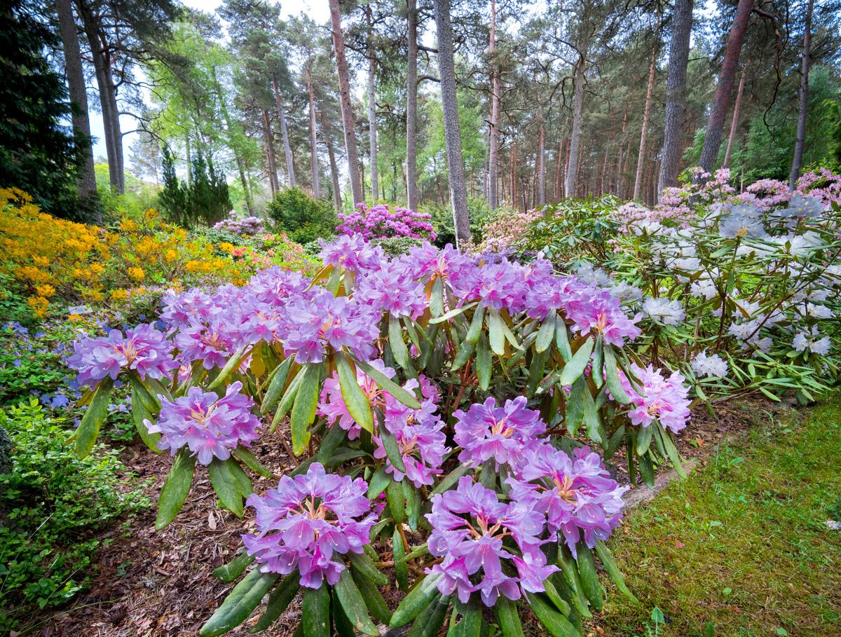 Rhododendrons, Rucava, Latvia